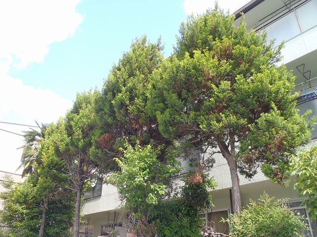 (管理)数年間放置した樹木の剪定 [before]